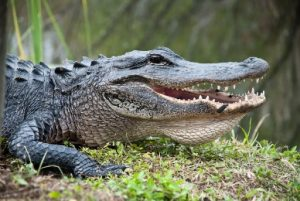 Alligator basking in sun with mouth open